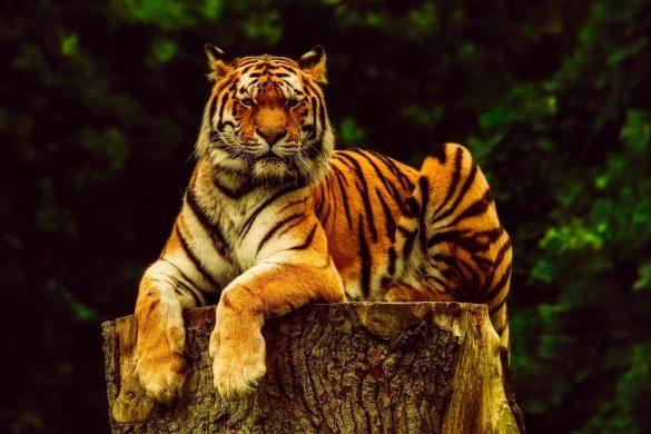 hình ảnh hổ nằm nghỉ trên thân cây bị cắt ngang