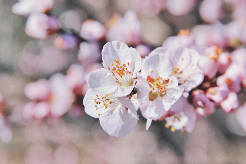 hình ảnh hoa đào trắng đẹp