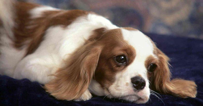 hình chú chó tai dài mặt buồn đang năm trên sàn nhà