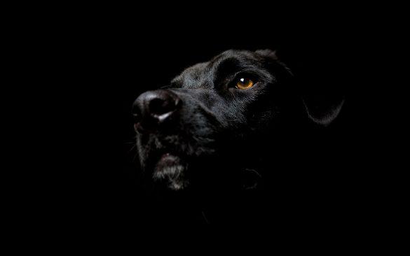 Hình nền đen và chó mực đen