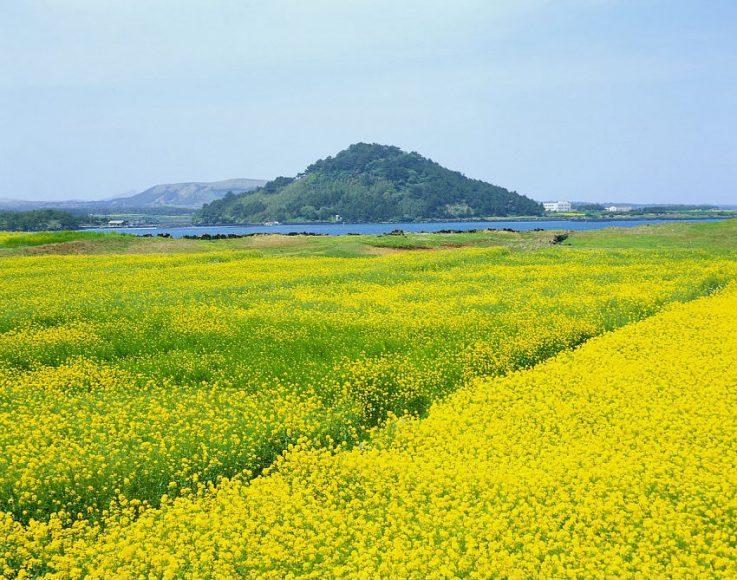 hinh anh canh dong hoa cai vang Hình ảnh hoa cải vàng rực rỡ đẹp nhất khiến người xem xao xuyến