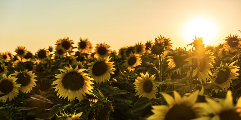 Hình ảnh cánh đồng hoa Mặt Trời