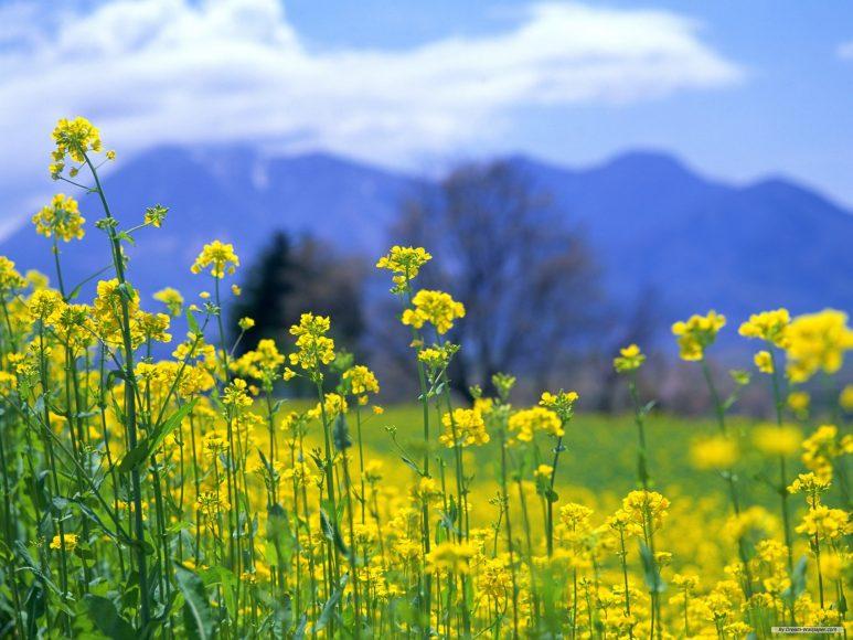 hinh anh hoa cai Hình ảnh hoa cải vàng rực rỡ đẹp nhất khiến người xem xao xuyến