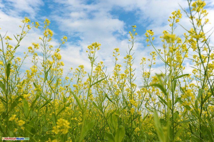 hinh anh hoa cai vang ha noi Hình ảnh hoa cải vàng rực rỡ đẹp nhất khiến người xem xao xuyến