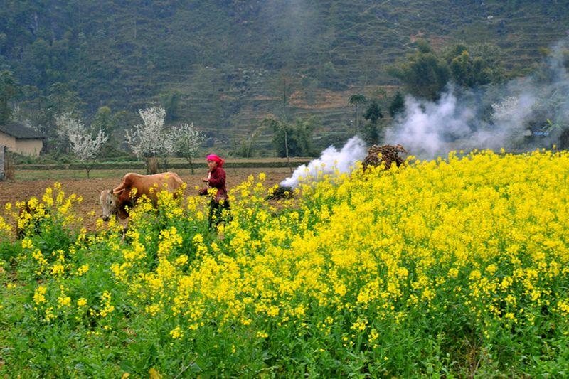 hinh anh hoa cai vang tai Ha Giang Hình ảnh hoa cải vàng rực rỡ đẹp nhất khiến người xem xao xuyến