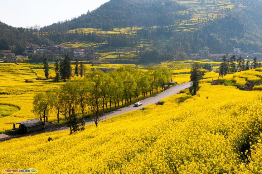 hinh anh hoa cai vang tai La Binh Trung Quoc Hình ảnh hoa cải vàng rực rỡ đẹp nhất khiến người xem xao xuyến