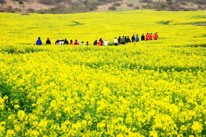 hinh anh hoa cai vang tuyet dep Hình ảnh hoa cải vàng rực rỡ đẹp nhất khiến người xem xao xuyến