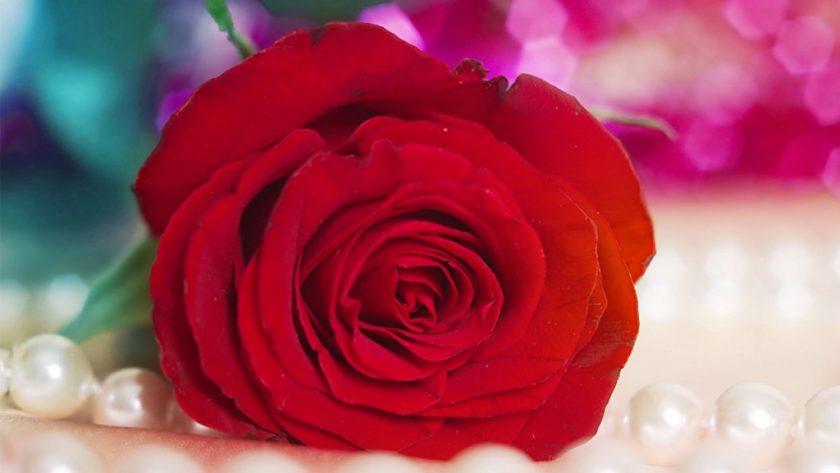 hinh anh hoa hong tang nguoi yeu ngay valentine