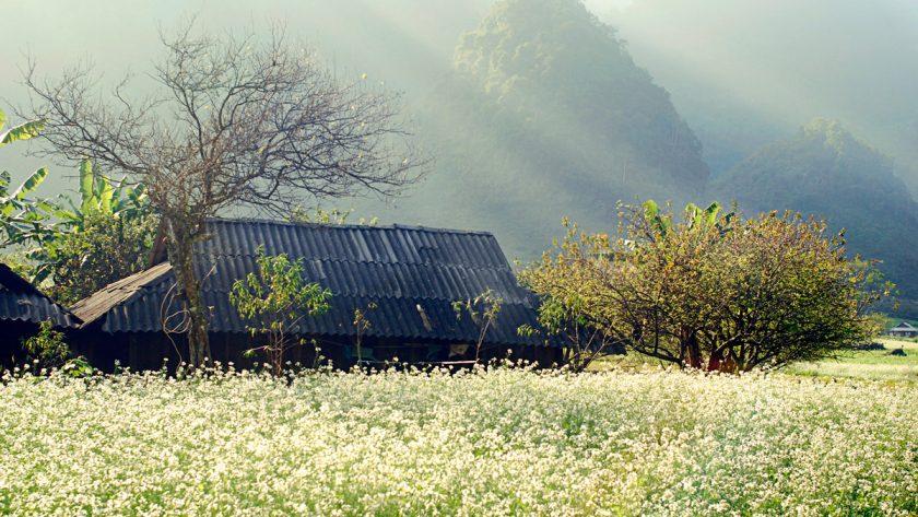 hoa cai tai ban Thung Cuong Moc Chau Hình ảnh hoa cải vàng rực rỡ đẹp nhất khiến người xem xao xuyến
