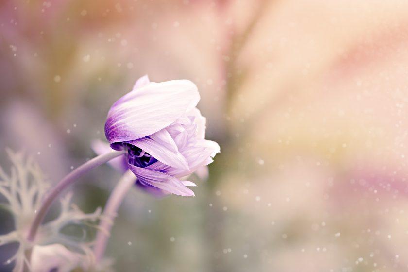 ảnh nền hoa hải quỳ tím