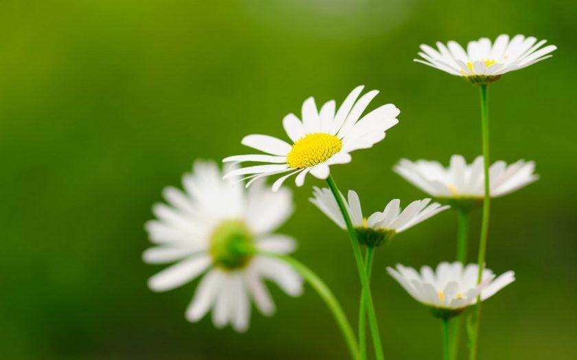 hinh nen hoa cuc hoa mi trang