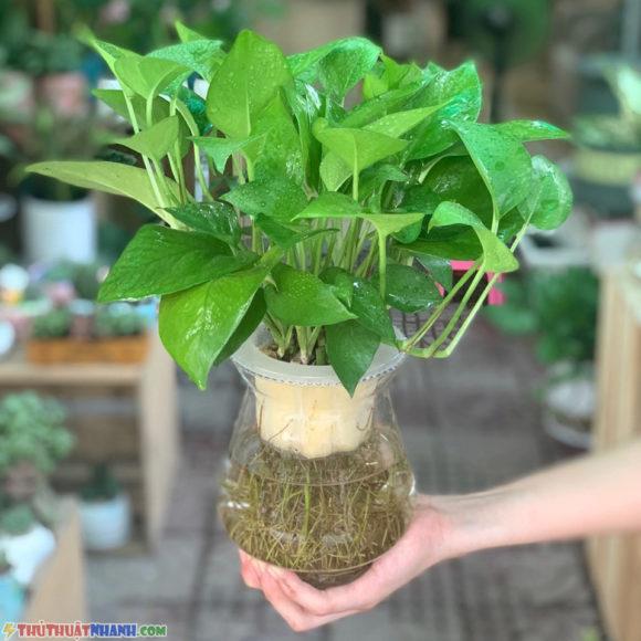 cay van nien thanh bonsai