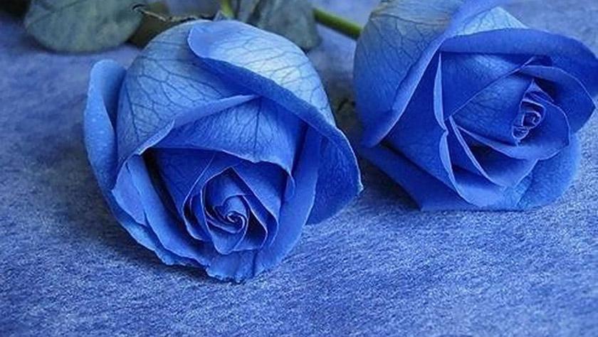 hinh anh hoa hong mau xanh lam blue