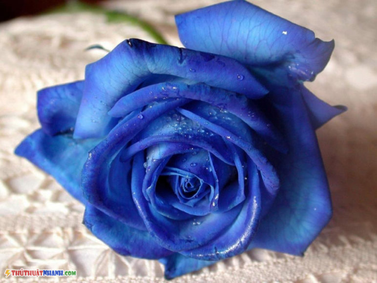 hinh anh hoa hong xanh