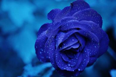 hinh anh hoa hong xanh tuyet dep