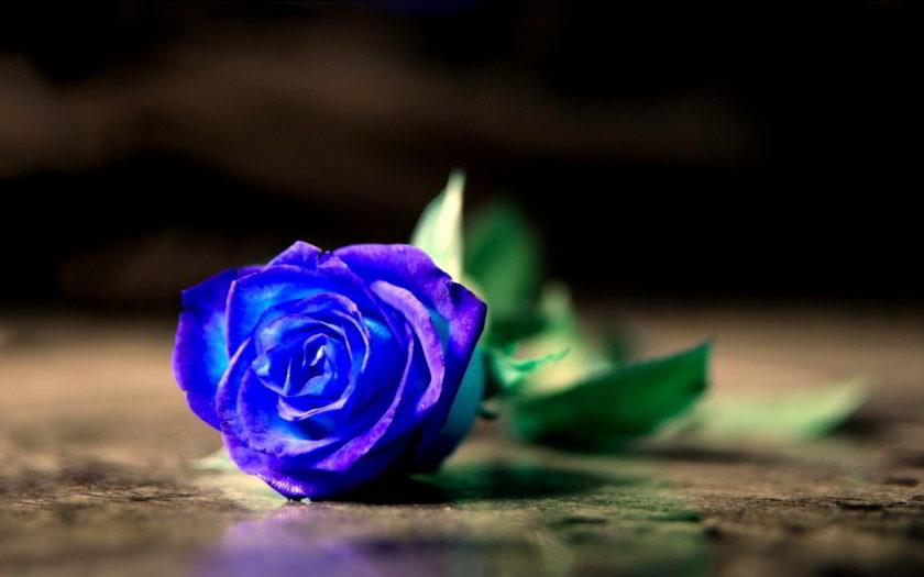 hinh nen hoa hong xanh cho may tinh