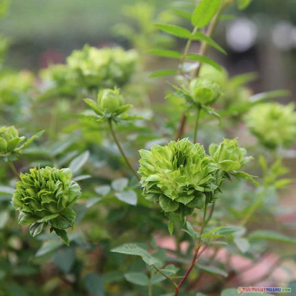 hoa hong xanh la cay Nhat Ban jane green rose