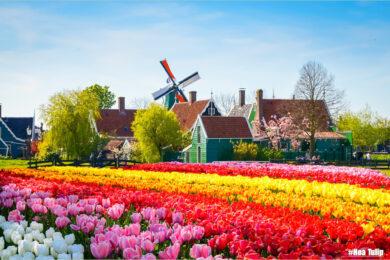 Hình ảnh vườn Hoa Tulip dep