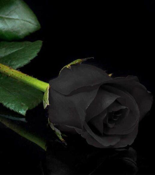 Hình ảnh bông hoa hồng đen