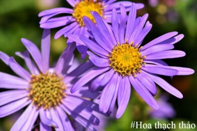 Hình ảnh đẹp và những ý nghĩa bất ngờ của hoa thạch thảo