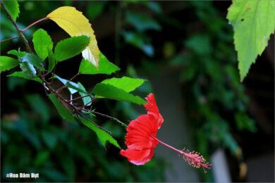 hình ảnh hoa dâm bụt đẹp