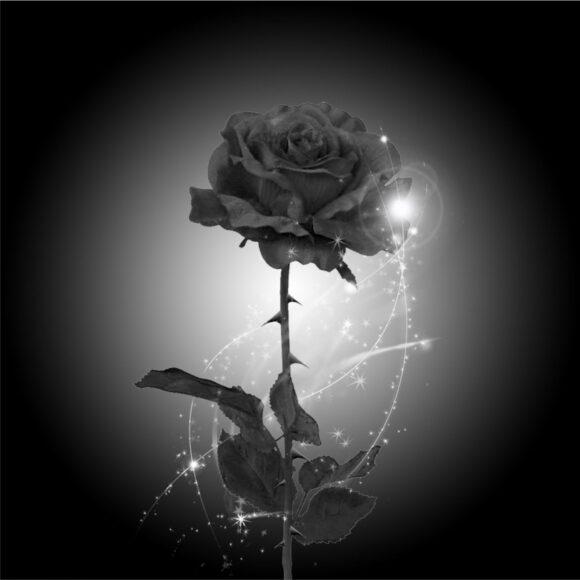 Hình ảnh hoa hồng đen đẹp