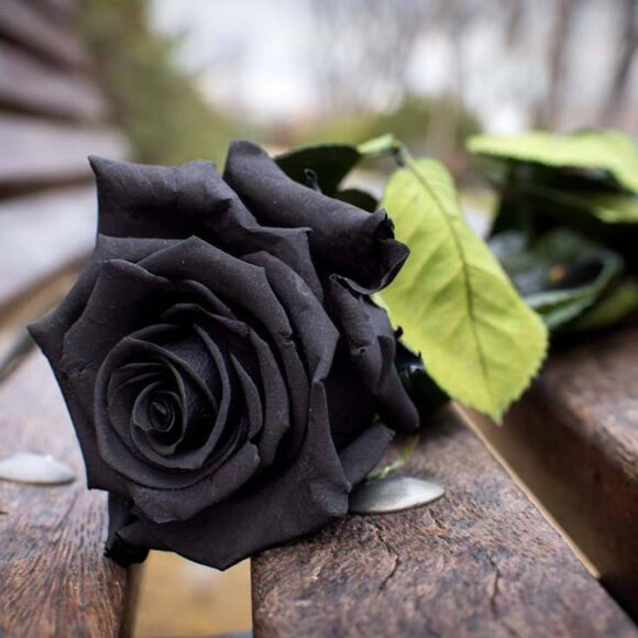 Hình ảnh hoa hồng đen thất tình