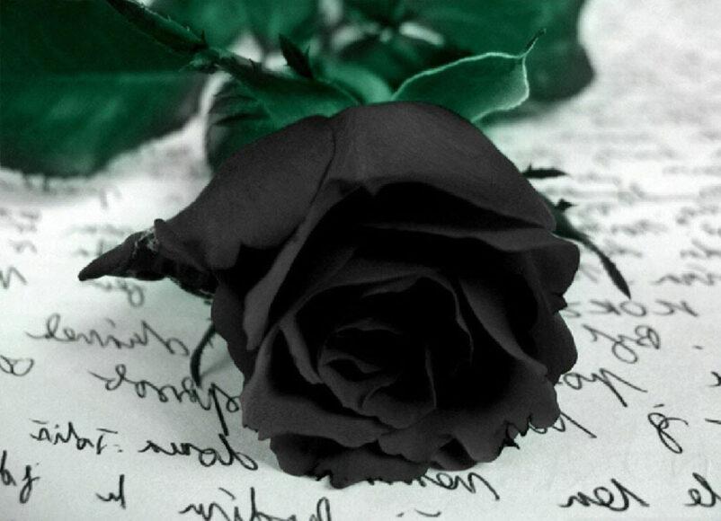 Hình ảnh hoa hồng đen và bức thư