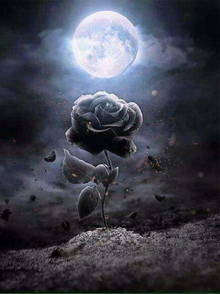 Hình ảnh hoa hồng đen và trăng