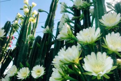 hình ảnh hoa xương rồng tuyệt đẹp