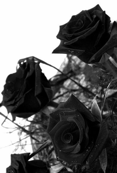 Hình nền điện thoại hoa hồng đen