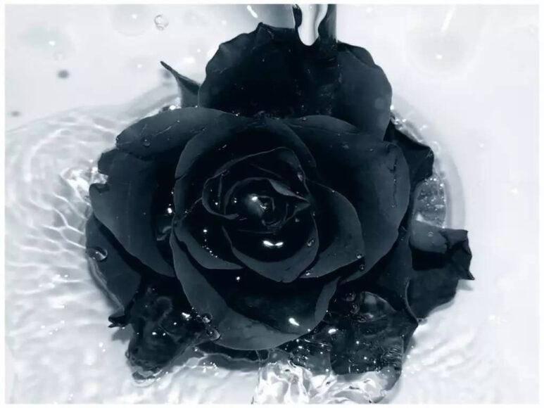 Hoa hồng đen buồn