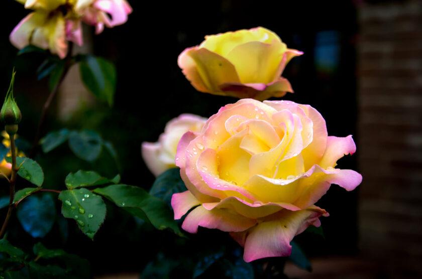 ảnh bông hoa hồng ngoại với sắc vàng chuyển hồng