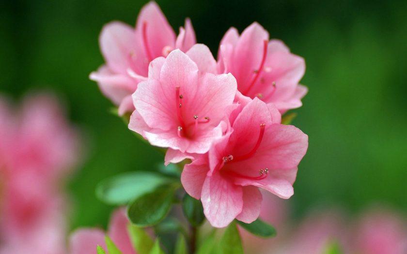 Ảnh đẹp hoa đỗ quyên