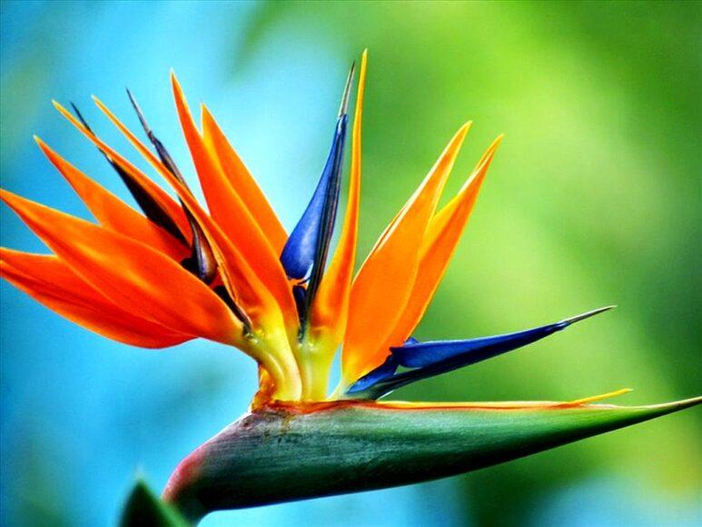 Ảnh đẹp hoa thiên điểu