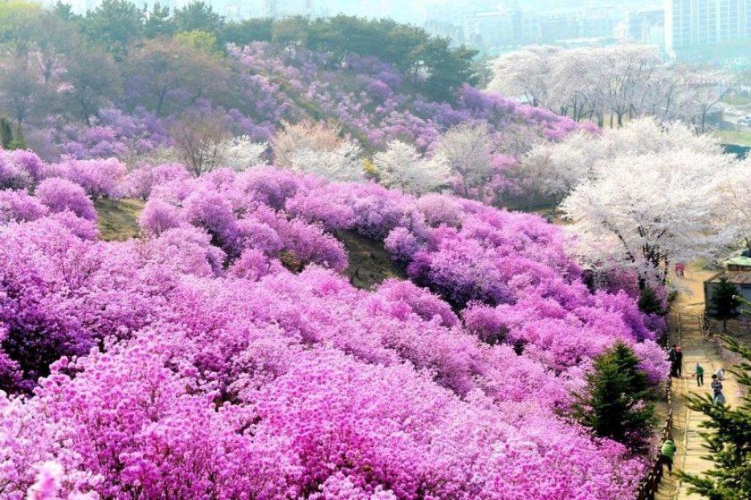 Ảnh đẹp về hoa đỗ quyên