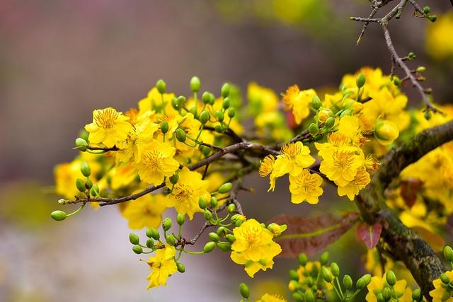 Ảnh hoa mai nở rộ