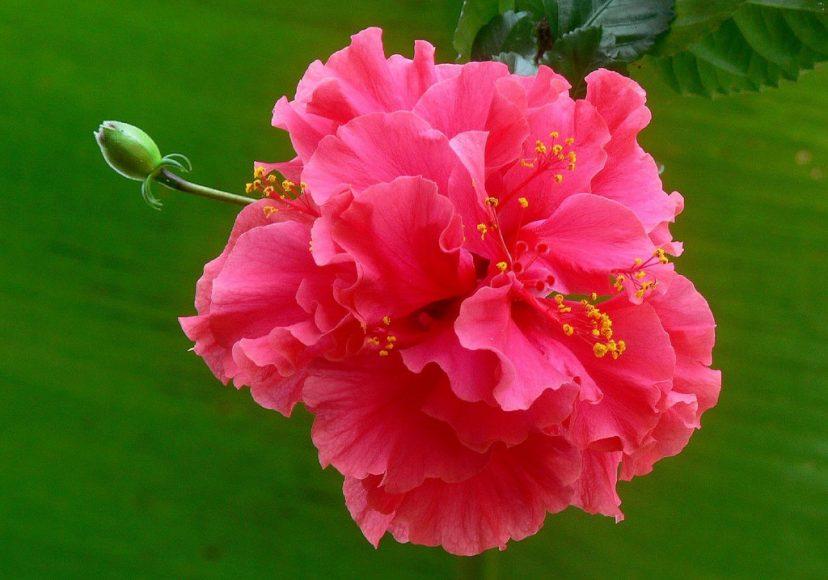 Ảnh hoa phù dung đẹp