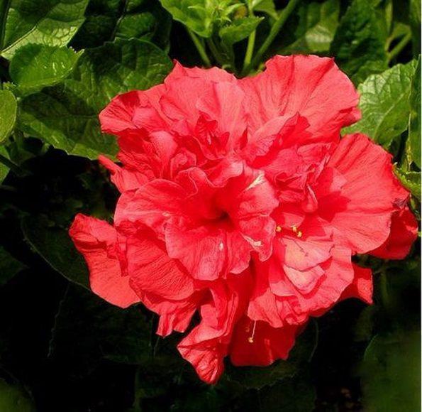 Ảnh hoa phù dung đỏ