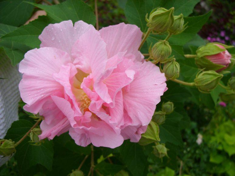 Ảnh hoa phù dung hồng phớt