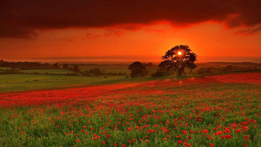 ảnh hoàng hôn buồn và cánh đồng hoa