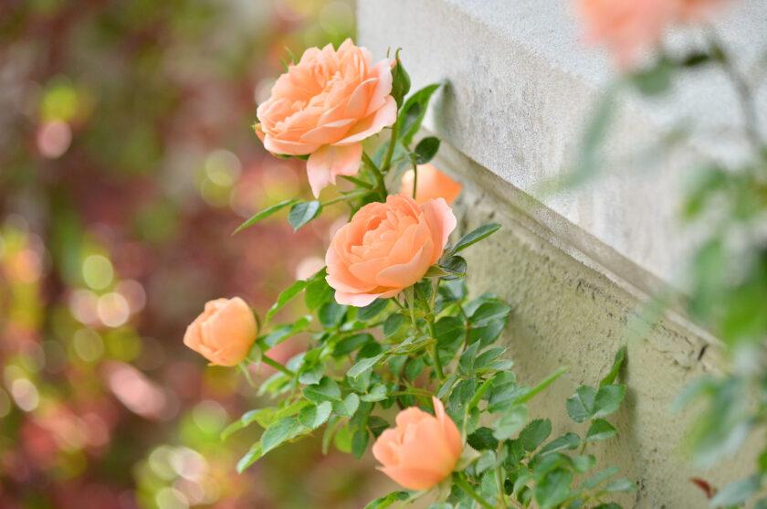 ảnh nền hoa hồng cam tuyệt đẹp
