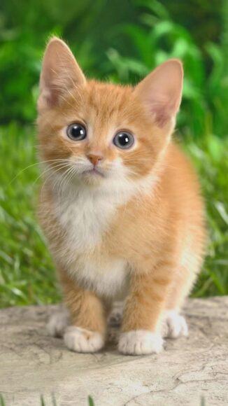 ảnh nền iPhone 6 Plus về chú mèo dễ thương