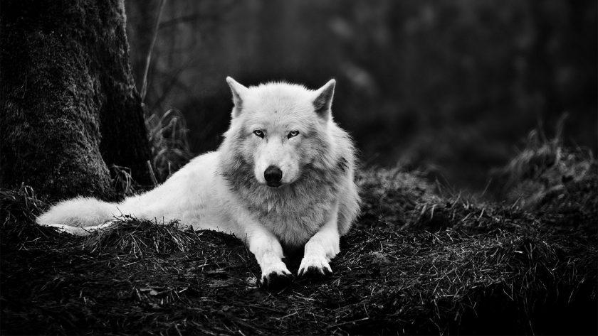 ảnh thiên nhiên buồn về chú sói trắng