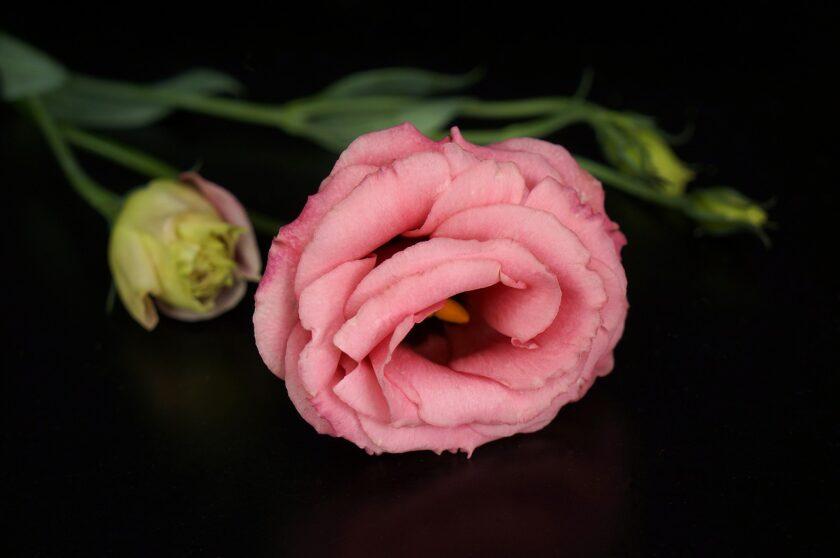 Bông hoa cát tường hồng
