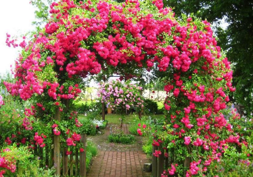 Chiếc cổng hoa tường vi