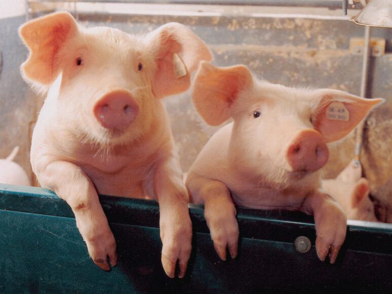 Hai con lợn đáng yêu