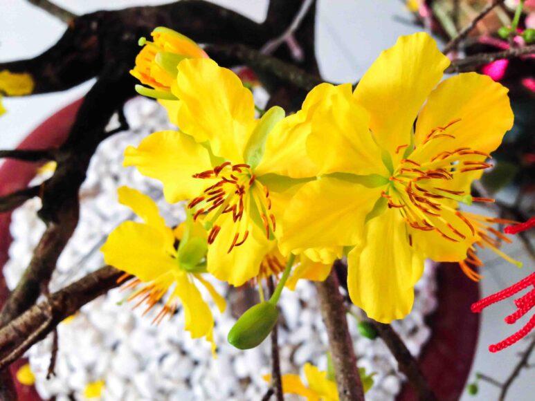 Hình ảnh bông hoa mai