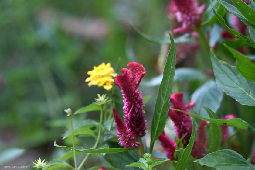 beautiful red maroon flowers in bloom
