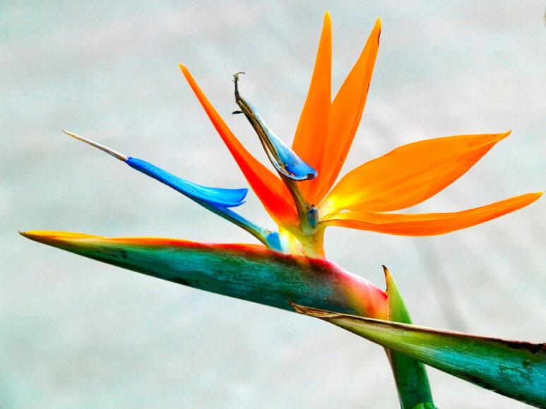 Hình ảnh bông hoa thiên điểu